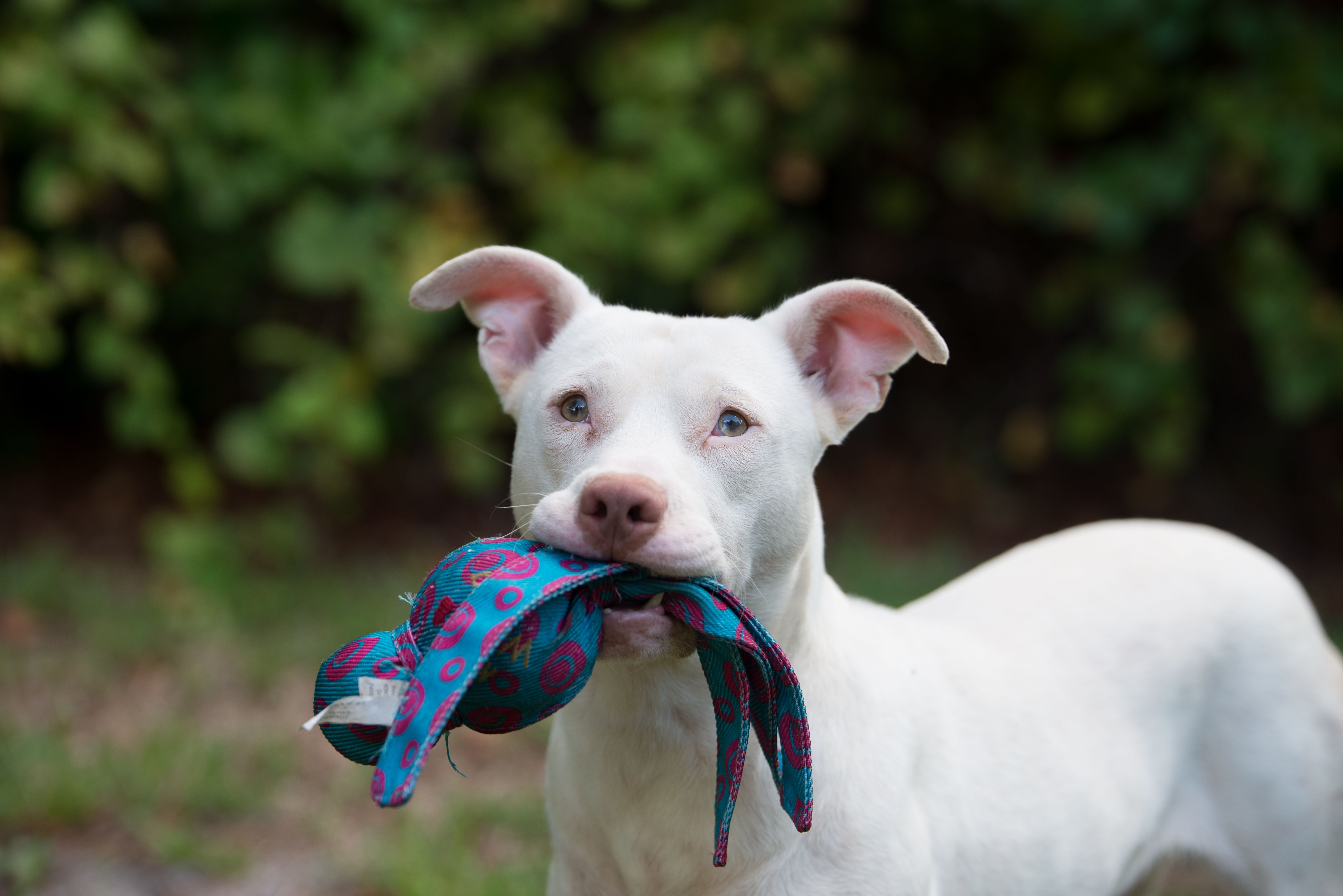 Unadoptable Dog Becomes Washington S First Deaf K 9 Pup Cute Puppies Law Enforcement Jobs