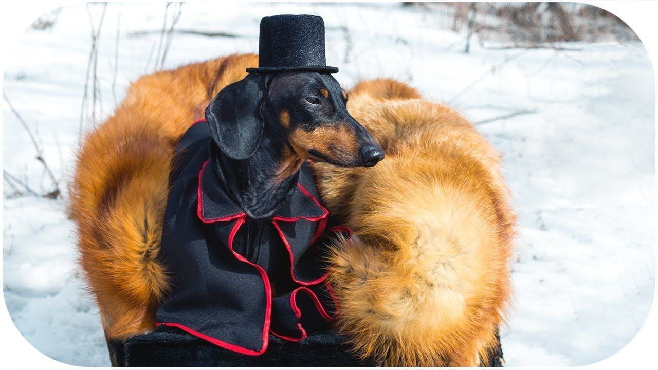The Duel Of Onegin And Lensky By Dachshund Dog An Excerpt Of
