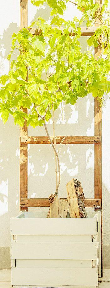 Weinkiste als Topf für Weinstock - eigener Weinanbauf auf dem Balkon