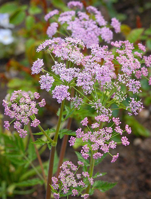 Chaerophyllum hirsutum var. roseum - Bjerg-hulsvøb, farve: lyserød, lysforhold: sol/let skygge højde: 60-80 cm, blomstring: tidligt forår, når blomstringen er slut, kan løvet klippes tilbage, og man kan få en anden mindre blomstring, god til bier og andre insekter, trives på fugtig jord, velegnet til snit.