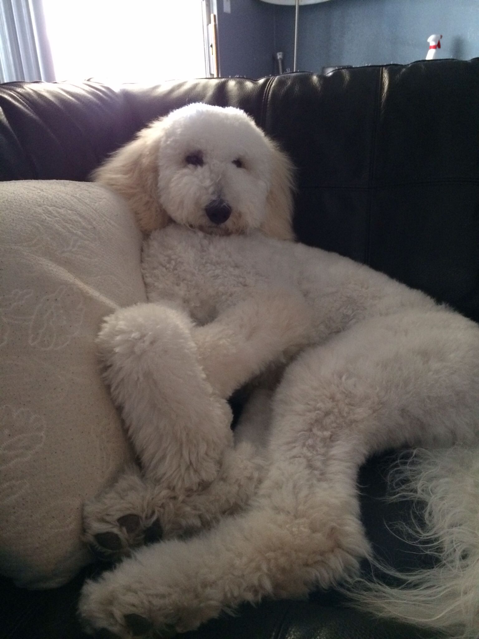 White labradoodle (With images) Sheep dog puppy, White