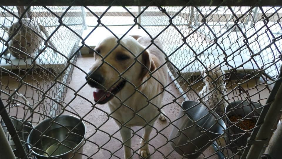 08 10 14 Sl Henderson Tx 1544 Is Our Yellow Lab Boy Someone Called The Shelter During Closed Hours Saying They Lost A Dog Losing A Dog Dog Help Call Backs