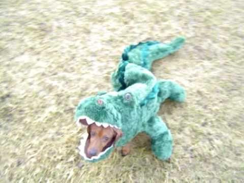 Crocodile Doxie Dachshund Dachshund Dog