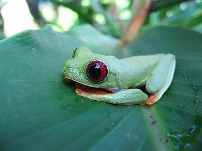 red eyed tree frog~