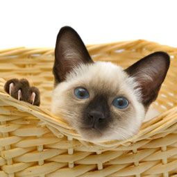 Cats Best Roommates Ever Siamese Kittens Balinese Cat Siamese