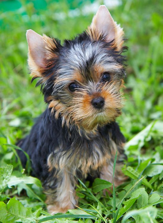 10 Best Yorkshire Terrier Dog Names Yorkshire terrier