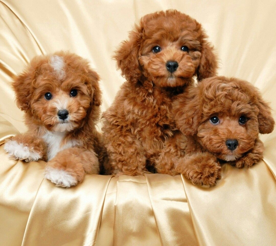 Cute Puppy Wallpaper, Poodle Puppy