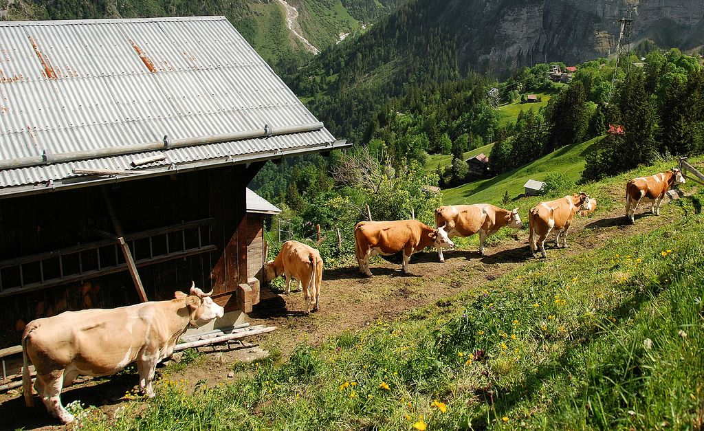 Cows on hike from Murren to Gimmewald