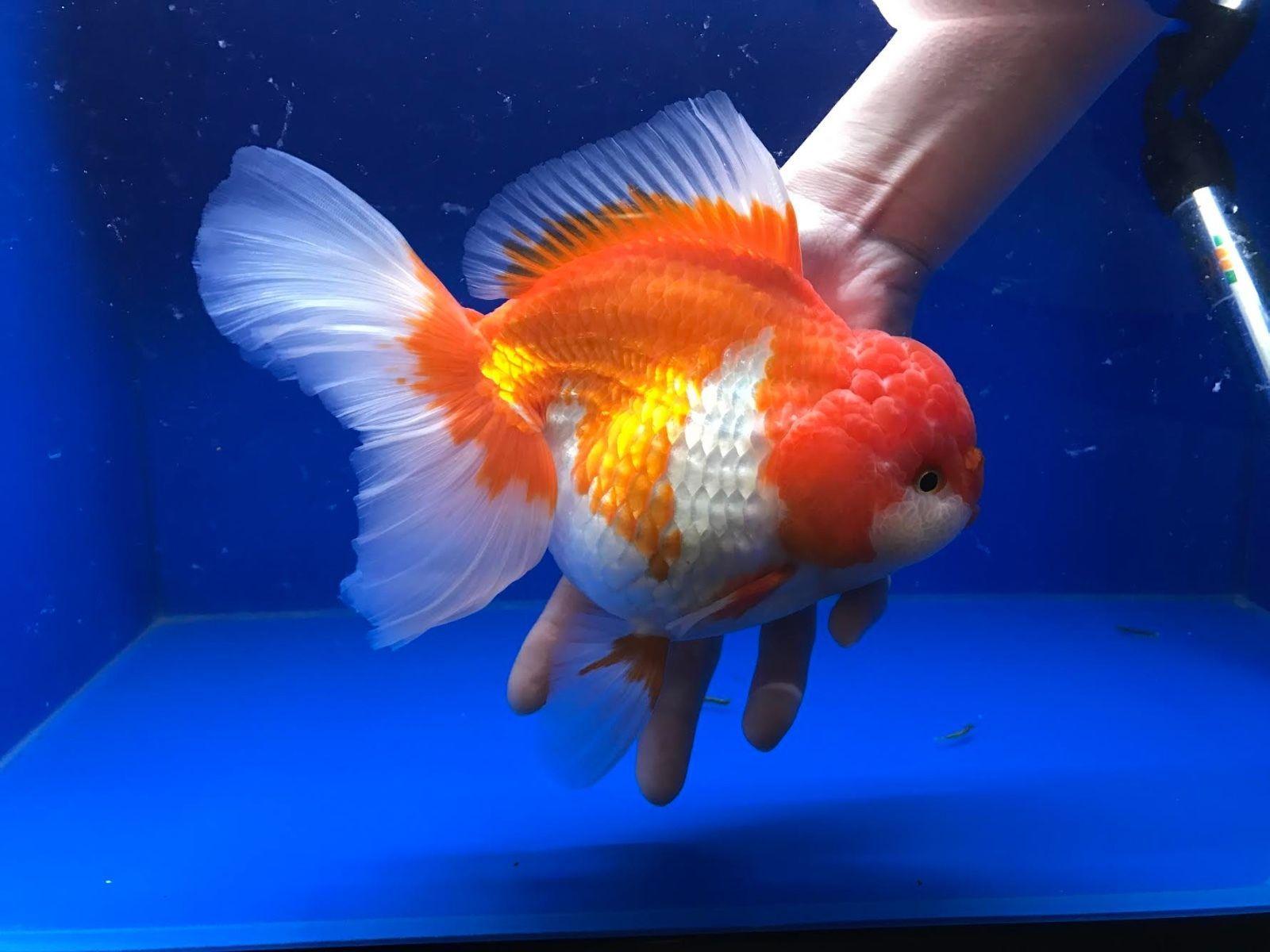 Omg Oranda Live Fancy Goldfish Red White Show Grade Jumbo Size 8 00142 Goldfish Red And White Fancy