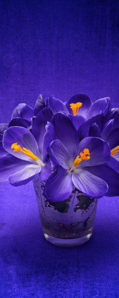 Purple Crocus.  Color combination.