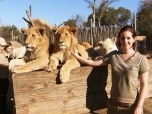 Volunteer in South Africa working with a lion conservatory