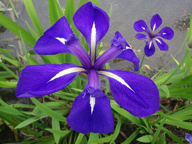 Iris laevigata plante fleurs violet irisd 39 eaujaponais iris faune flore pinterest - Langage des fleurs iris ...