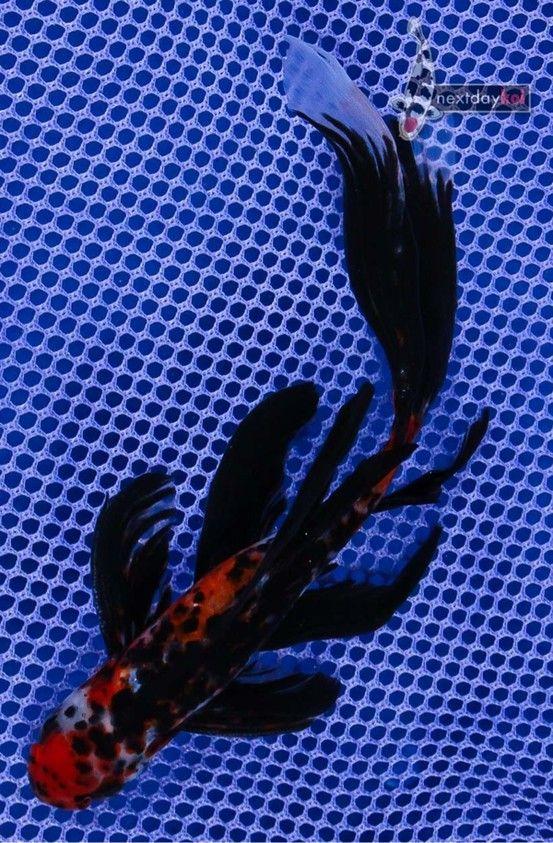Goldfish shubunkin eye candy goldfish for the pond for Artificial koi fish