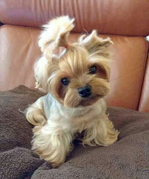 Cutie Yorkie With A Ponytail Cute Teacup Puppies Cute Animals Baby Animals