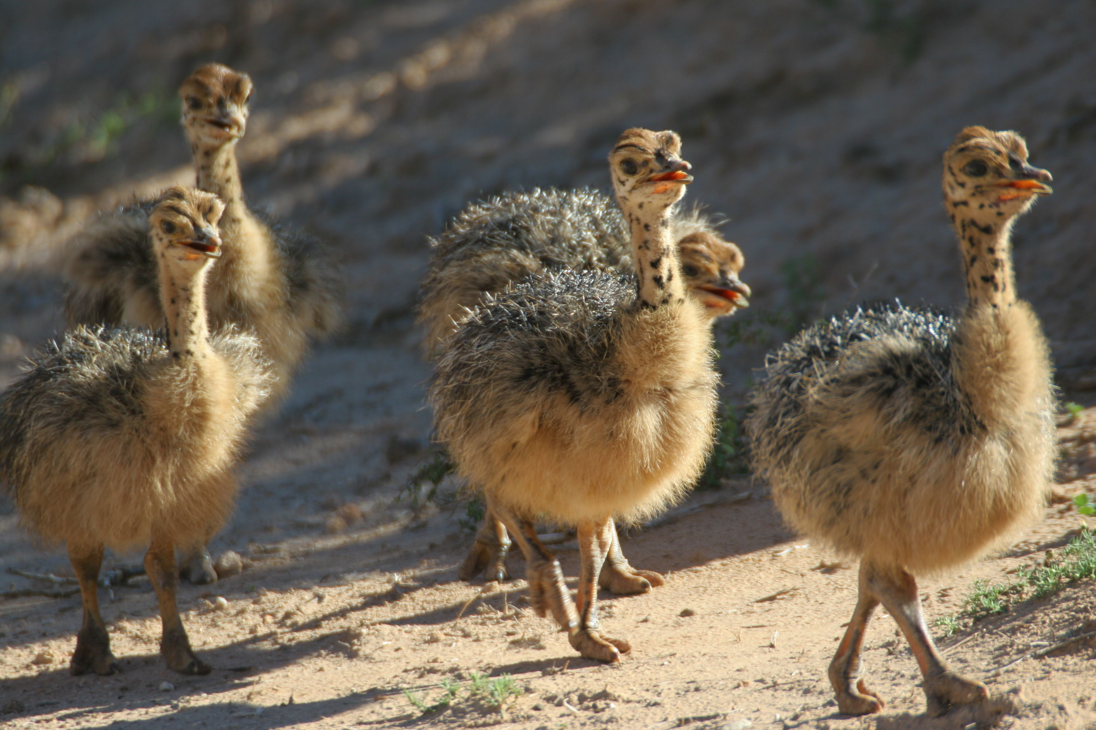 Baby Ostriches | Baby ostrich, Ostriches, House property