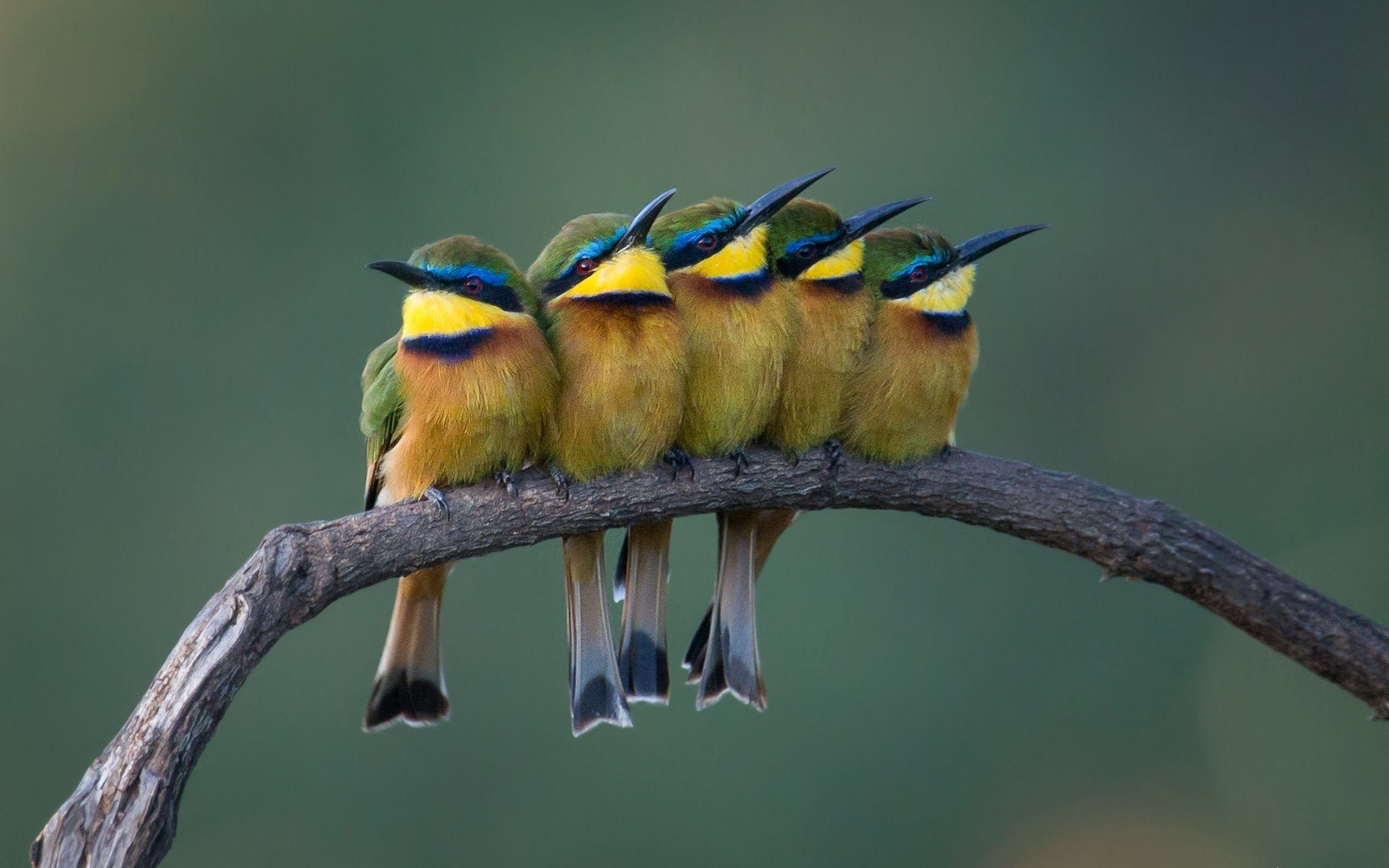 Bee Eaters Beautiful Birds Photo 4K Wallpaper HD ...