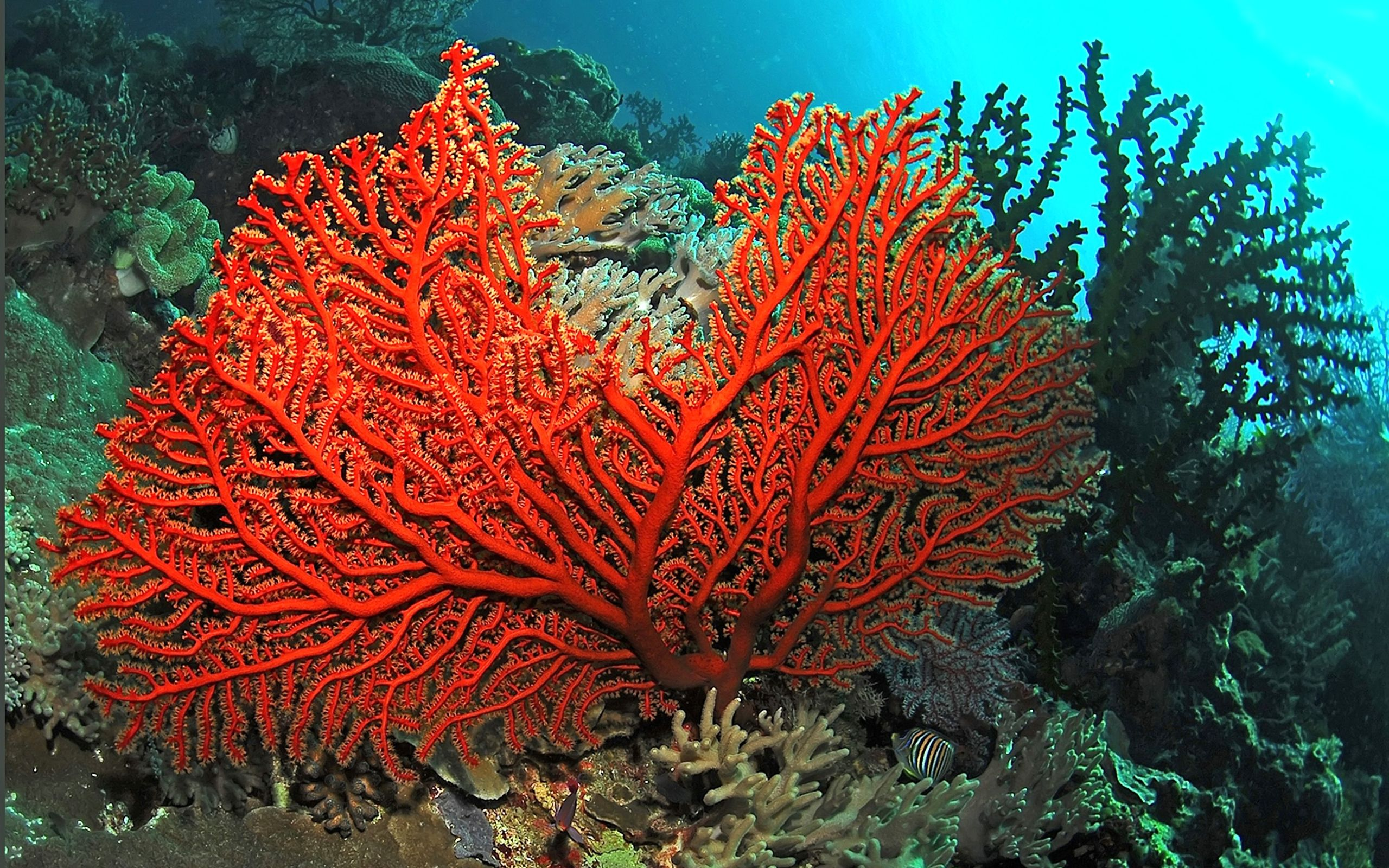eede3a4ee6 red coral ocean images - Google Search