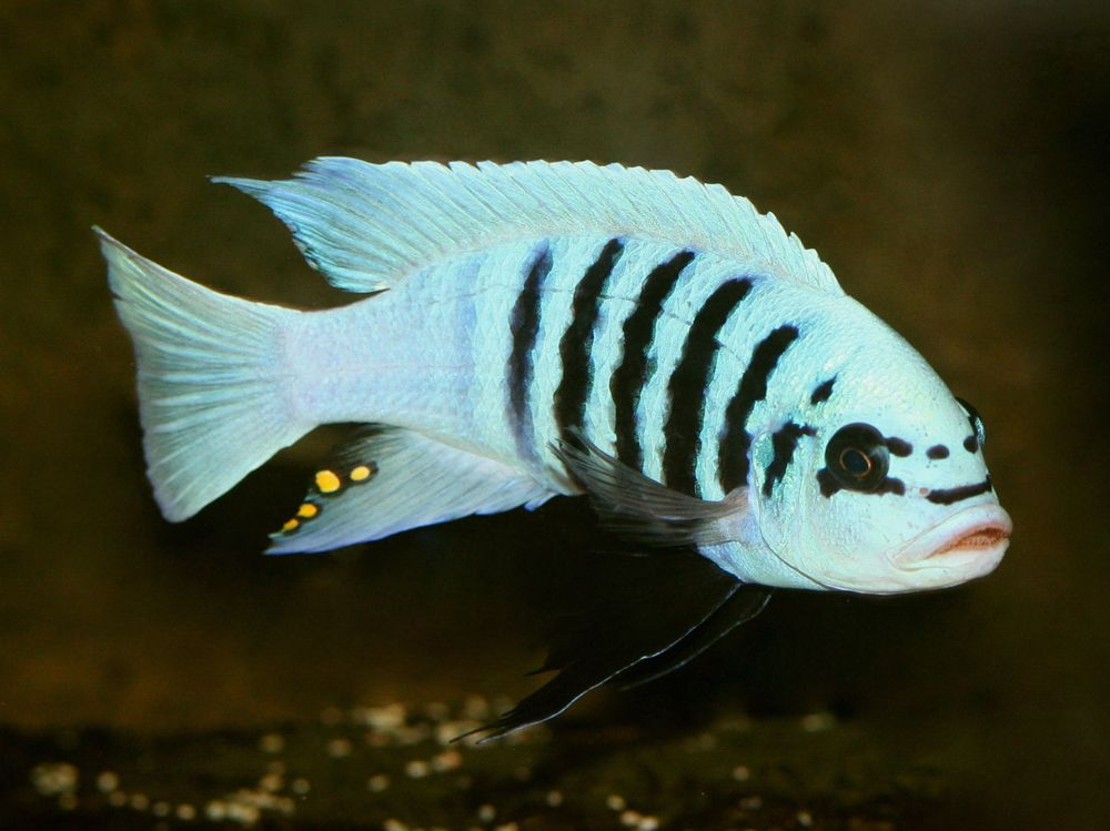 Metriaclima Zebra Maisoni Hane African Cichlid Aquarium Cichlid Aquarium Cichlid Fish