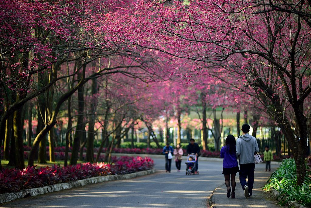 The Best Spots To See Cherry Blossoms In Taiwan Cherry Blossom Cherry Blossom Season Blossom