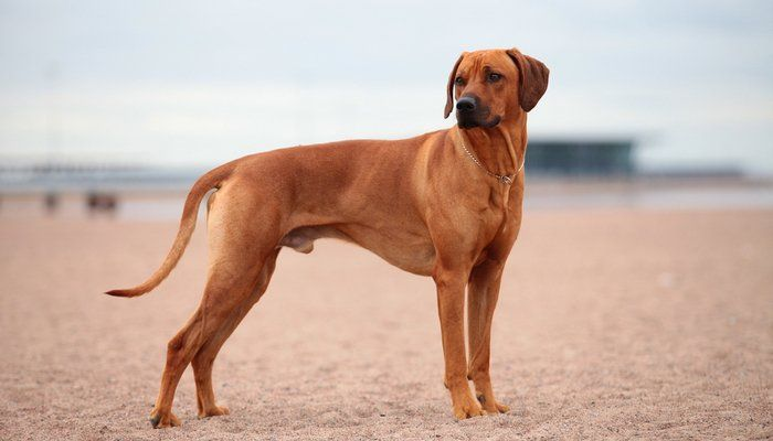20 Best Short Hair Dog Breeds Dog Breeds Rhodesian Ridgeback Dogs