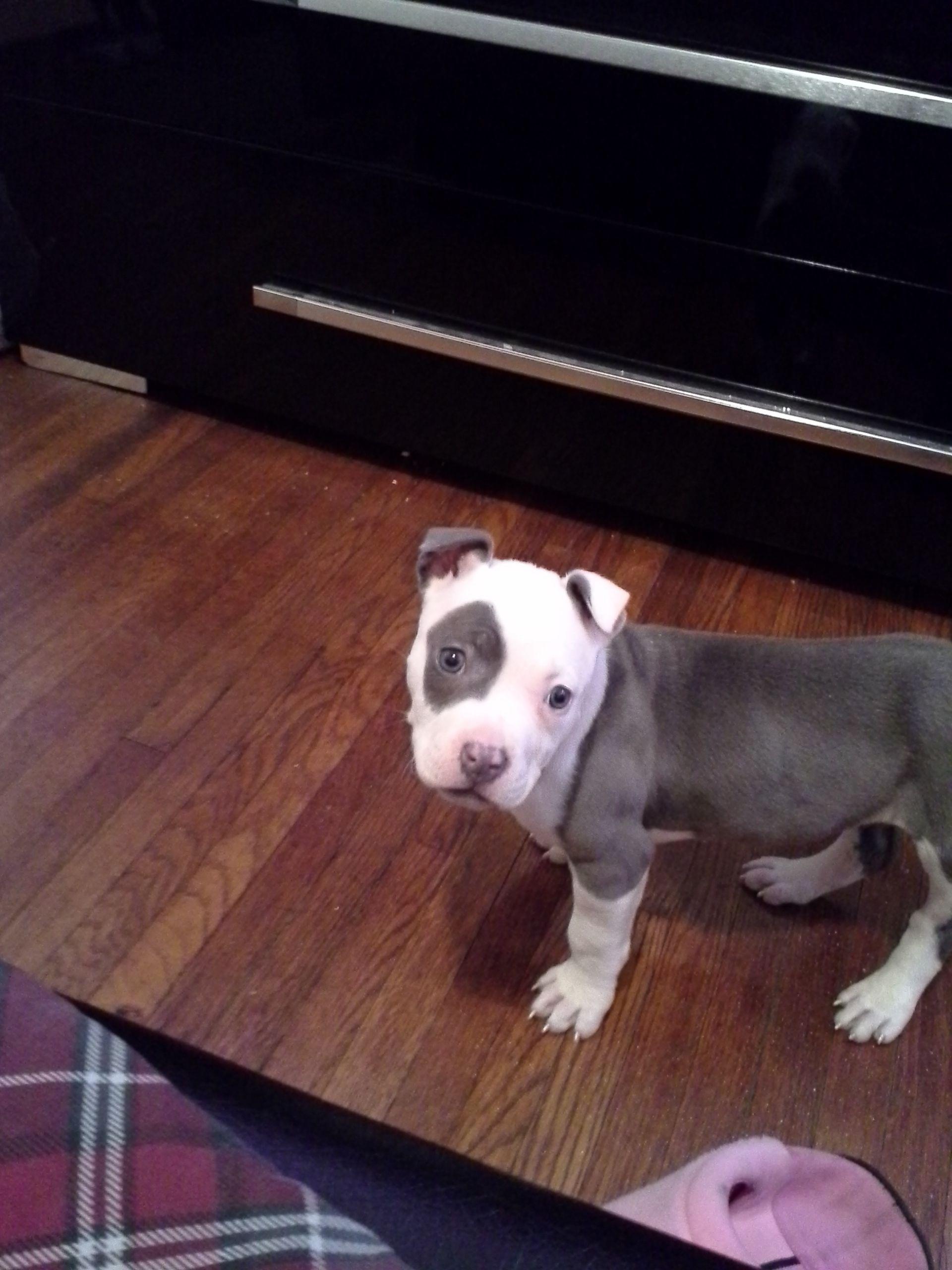Awww, wide eyed pitbull puppy...Layla!! | Animal Cuteness ...