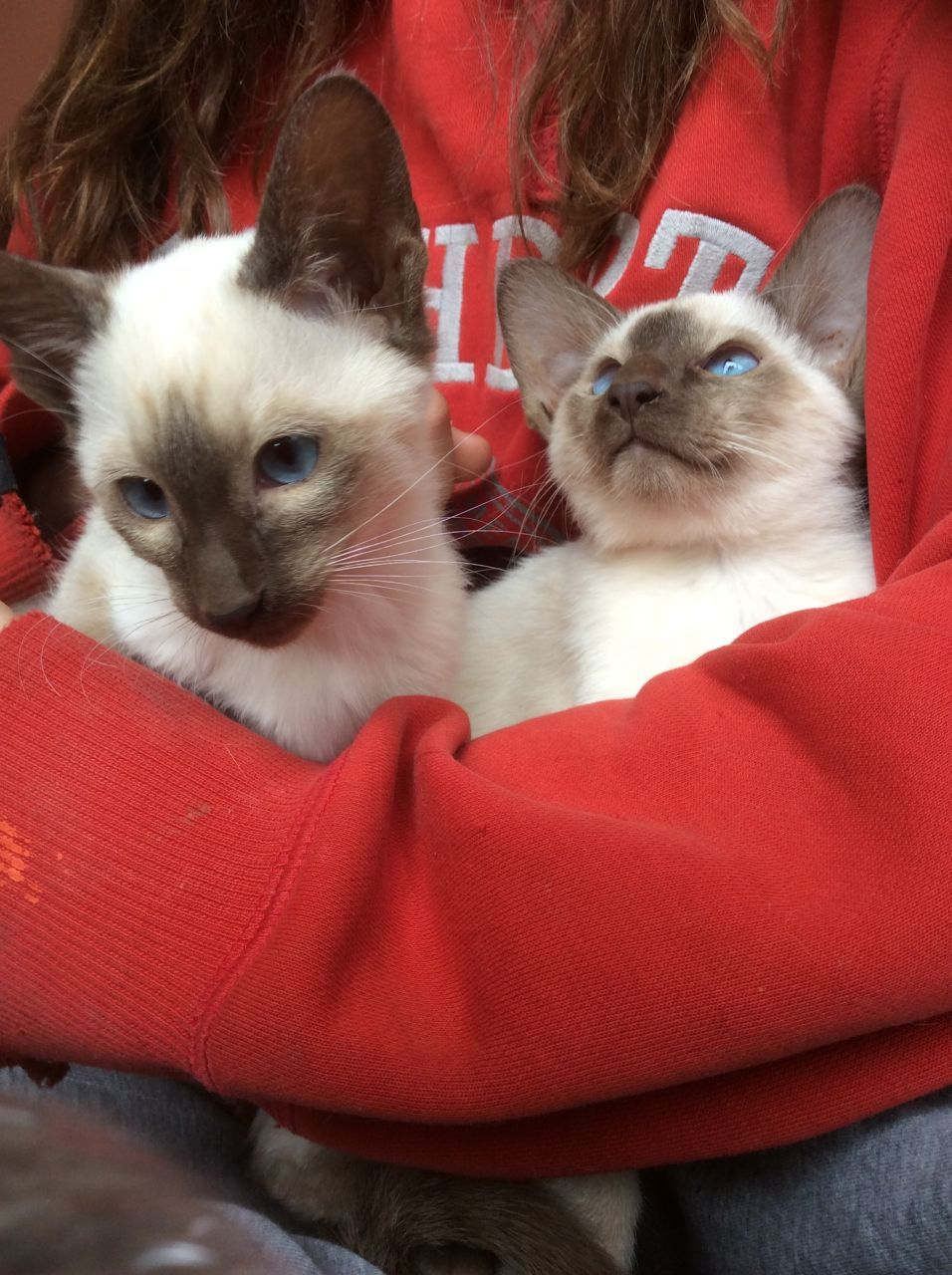 Choc Boys Seal Boys Fawn Boys Seal Girls Fully Vaccinated And Vet Checked Gccf Reg Non Active Girls Only Can Be Gccf Siamese Kittens Litter Training Kittens