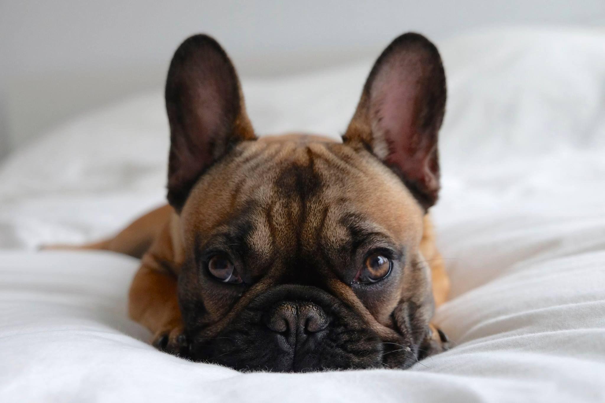 French Bulldog Dog Breed Information French Bulldog French