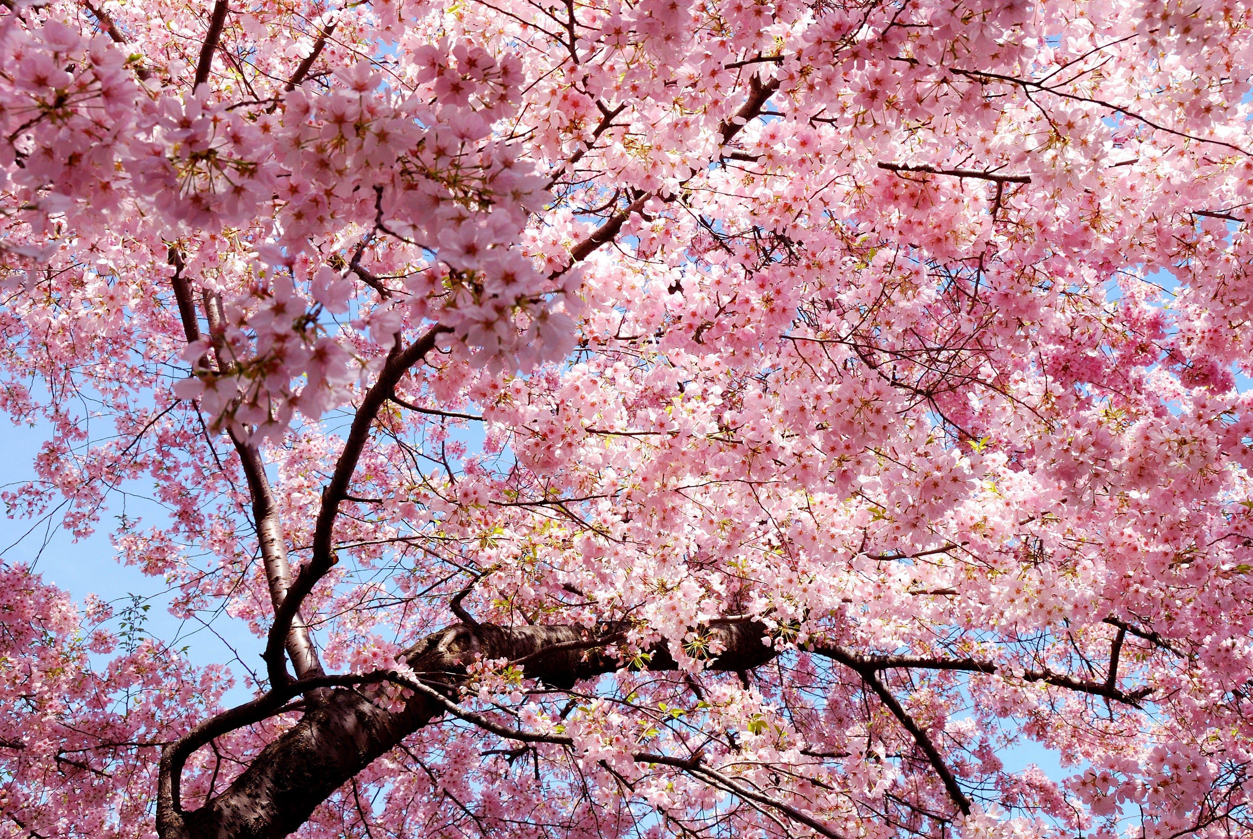 Cherry Blossom Tree Desktop Wallpaper