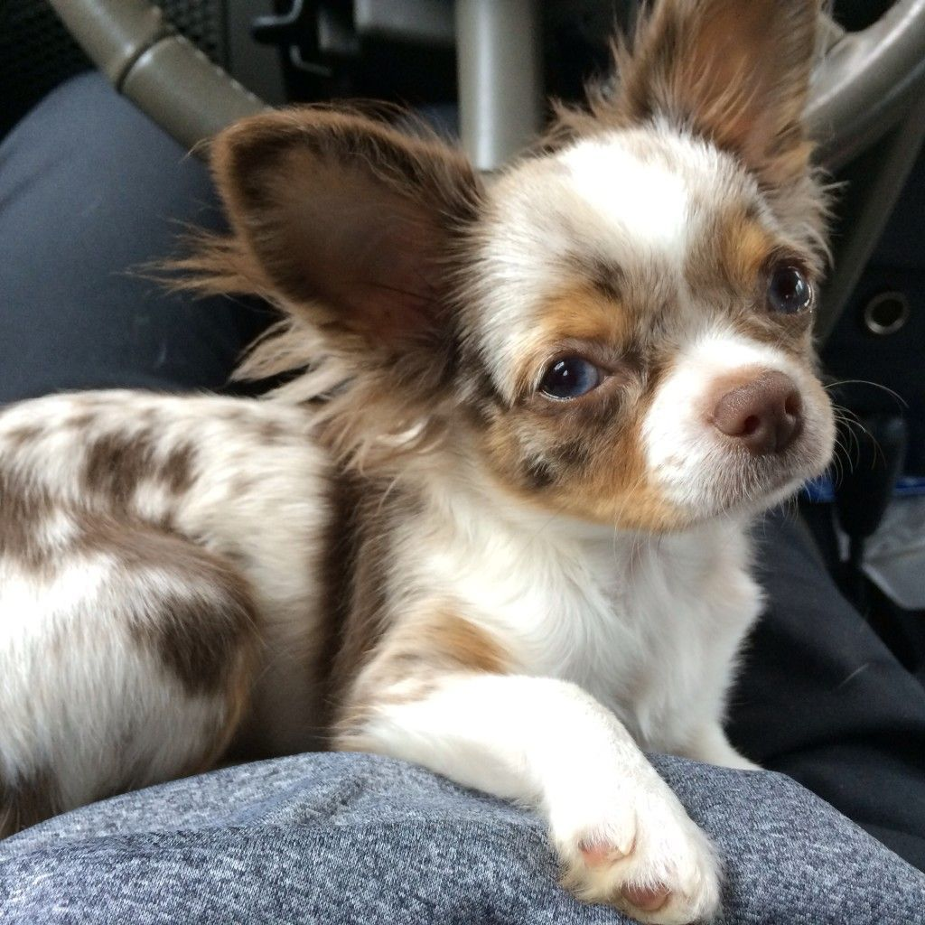 Merle Chihuahua Banned By Breeder And Kennel Clubs In All