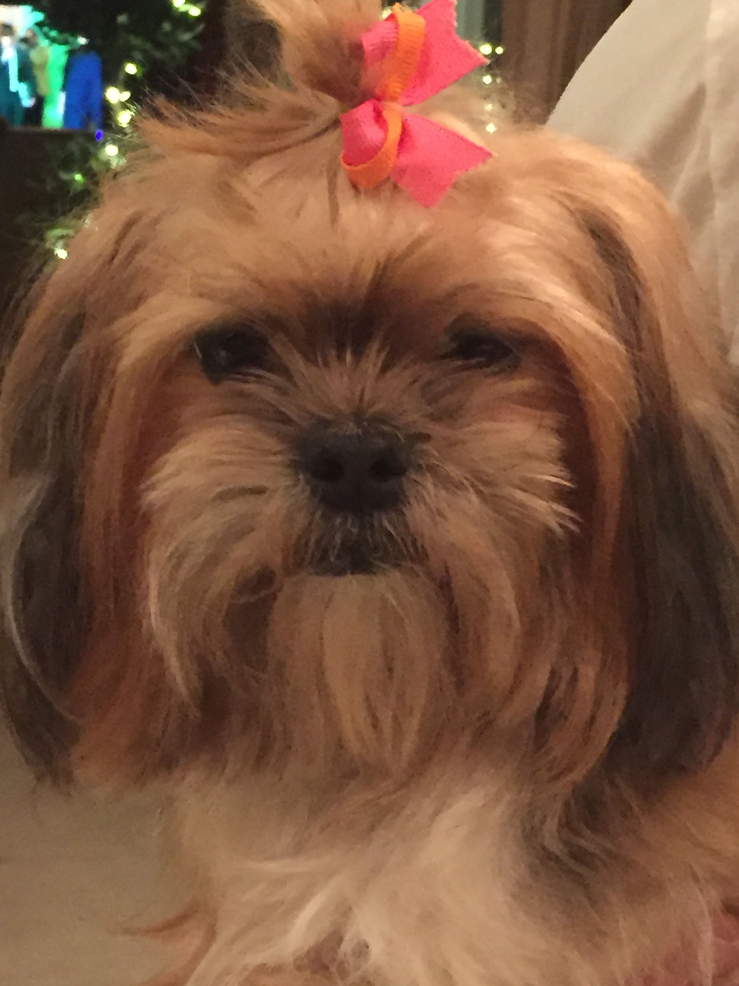 Shih Tzu Dog For Adoption In Santa Clarita Ca Adn 418544 On