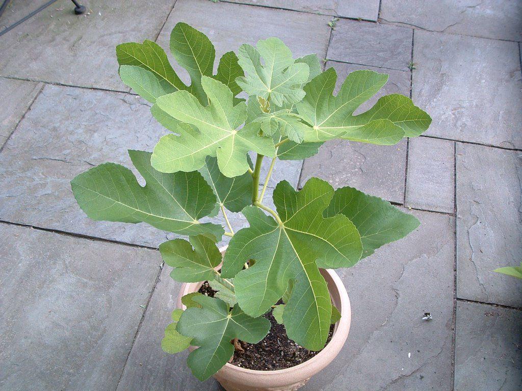 Where should you plant a fig tree?