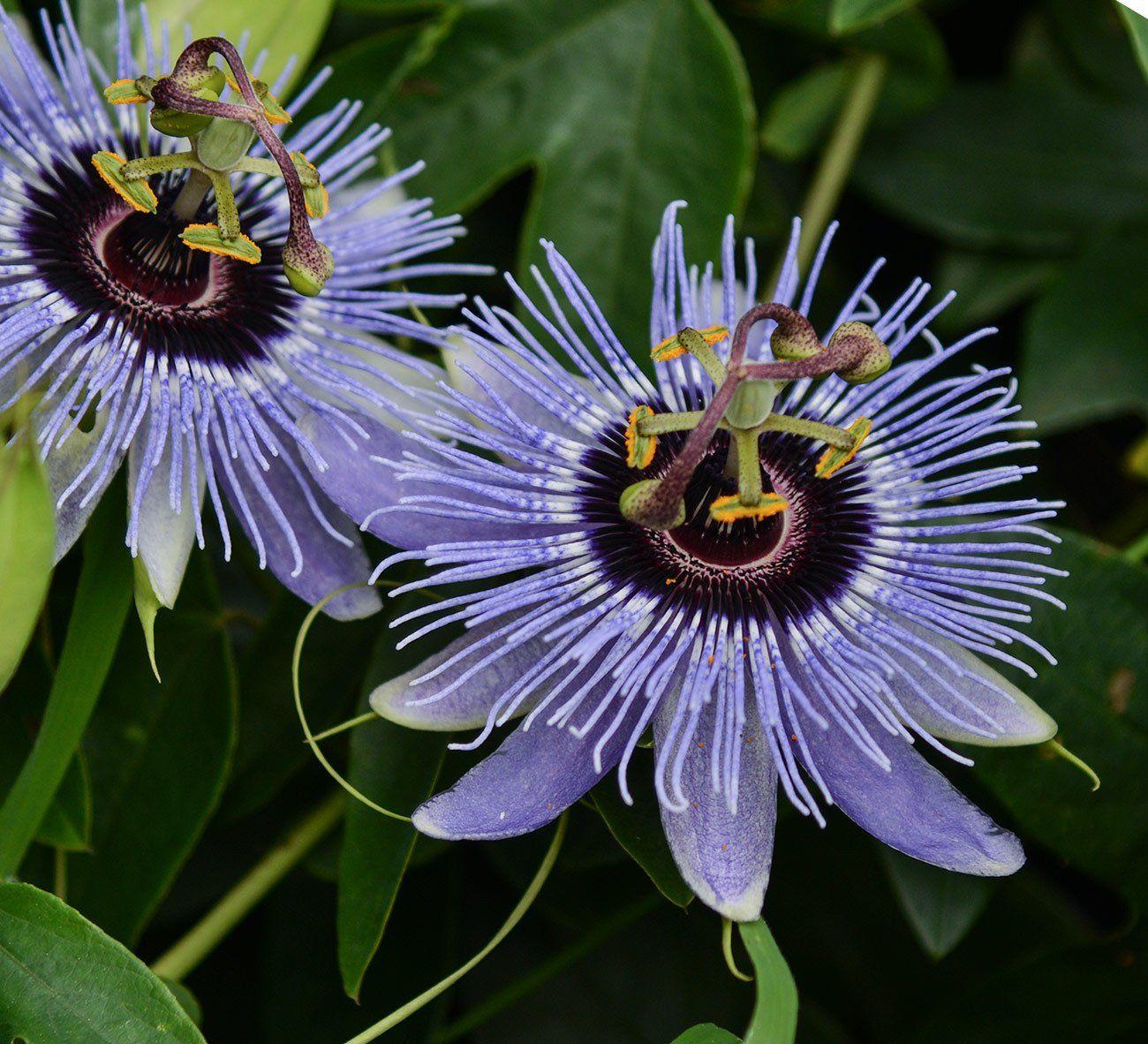 Passiflora Blue Bouquet 4 Pot Blue Passion Flower Passiflora Blue Bouquet