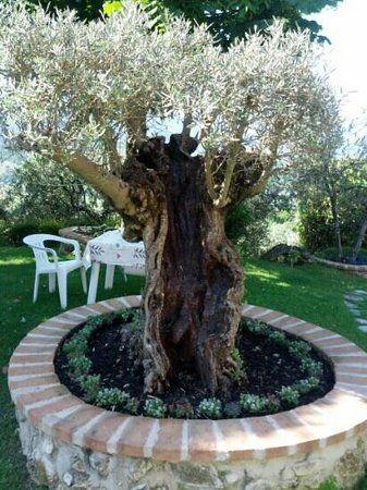 Risultati immagini per progettazione aiuola olivo casa for Aiuola con ulivo