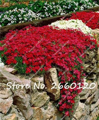 100 pcs colorful rock cress seeds or creeping thyme seeds perennial ground cover flower. Black Bedroom Furniture Sets. Home Design Ideas
