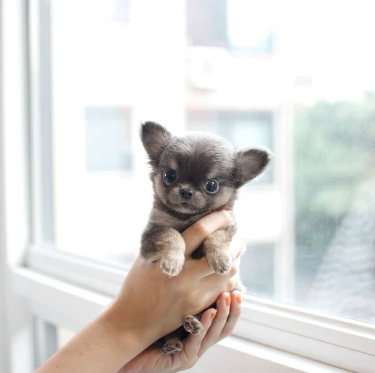 Adorable Pebbles Miss Sold Iowa Lil Toadorable Lil Miss Pebbles Sold To Iowa Adorable Lil Miss Pebbles Micr Teacup Chihuahua Chihuahua Teacup Dog Breeds