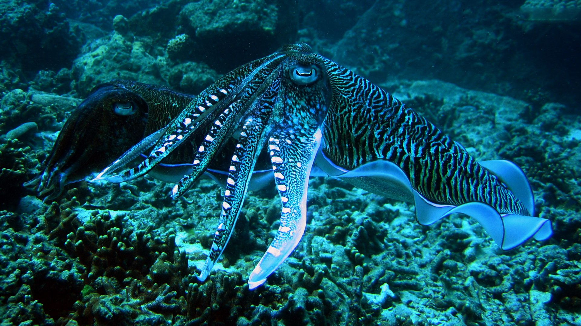 9 Cuttlefish Hd Wallpapers Backgrounds Wallpaper Abyss Octopus Octopus Wallpaper Cuttlefish Art