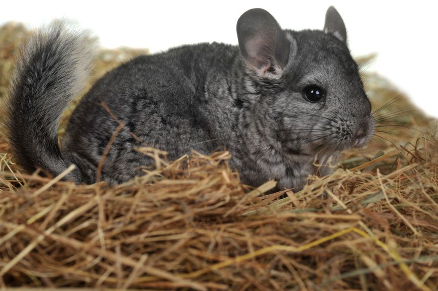 20 Interesting Facts About Chinchillas Answers Africa Animals Pets Pocket Pet