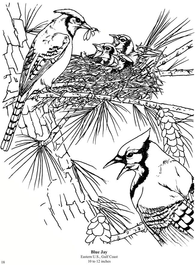 Blue Jay Dover Coloring Pages Coloring Books Coloring Pages