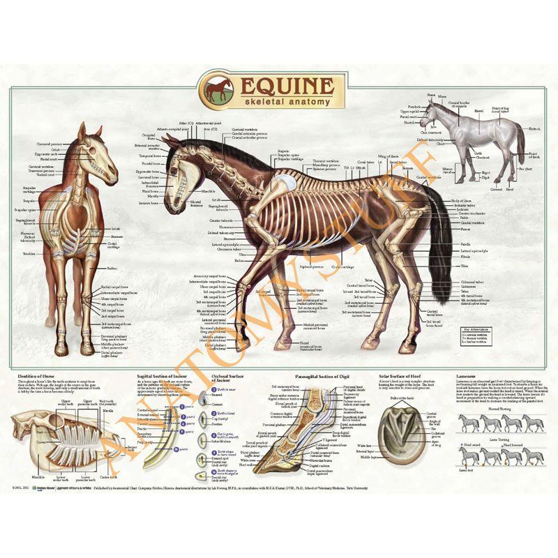 Ziemlich Pferd Anatomie Charts Bilder - Menschliche Anatomie Bilder ...