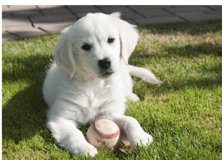 English European Golden Retriever Puppy Want English Golden Retriever Puppy Golden Retriever Golden Retriever Puppy