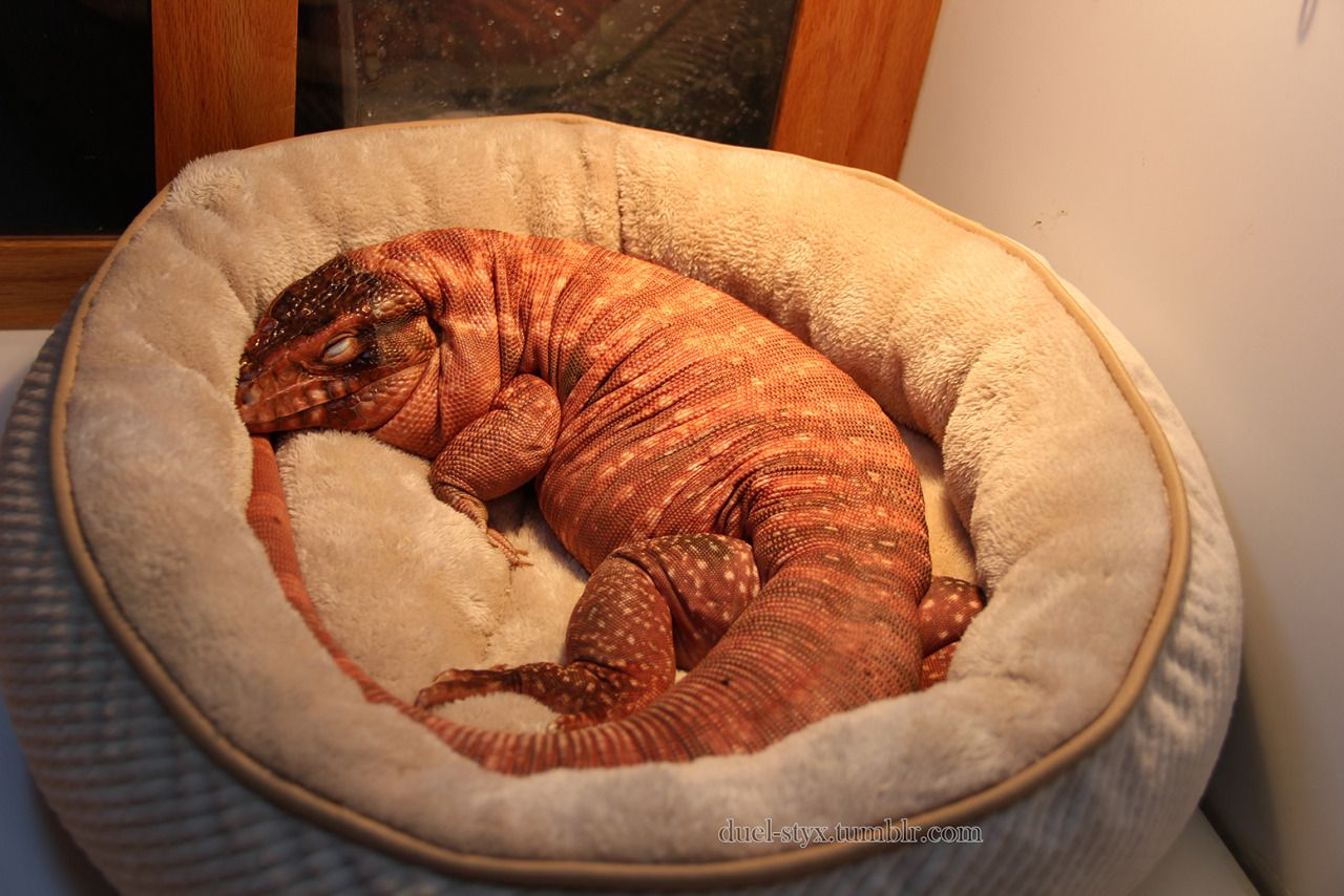 red tegu curled up in a dog bed asleep