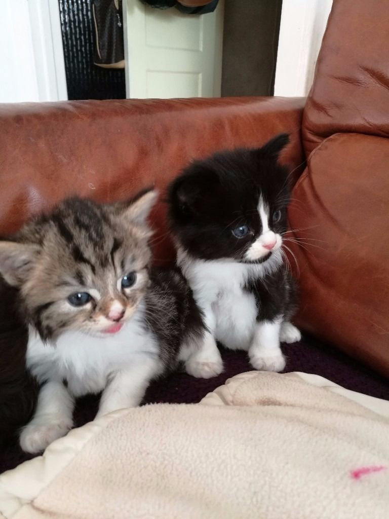 Lovely Kitten For Sale 80 Pounds For White And Black And 100 Pounds For Tabby Ones In Kingston Lo Kittens Cutest Baby Kittens Cutest Cute Cats And Kittens