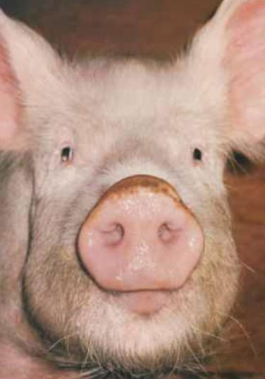 Pin By Vickie Ezell On I Love Piggies Animals Little Pigs Pets