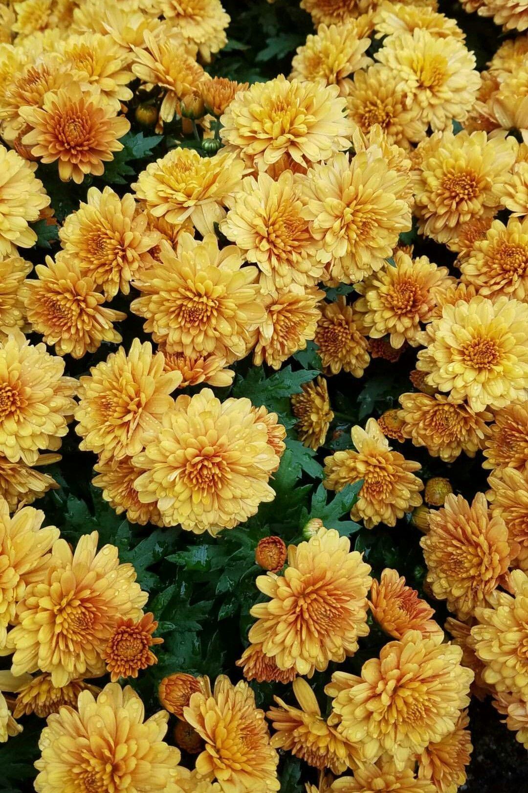 (cred dark_oxx) Yellow flowers, Yellow aesthetic