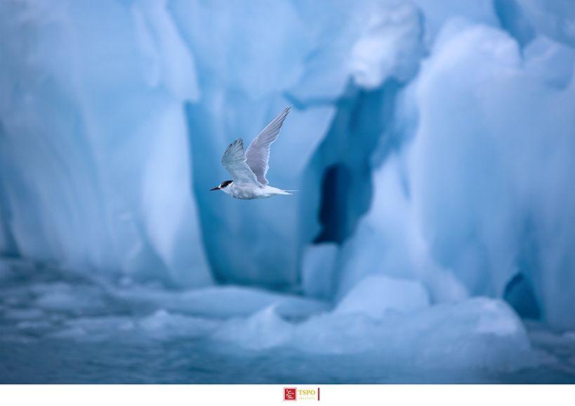 극제비갈매기