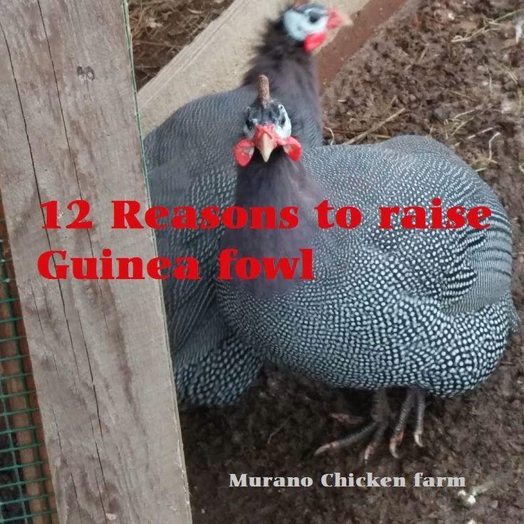 Raising Guinea Fowl Chicks