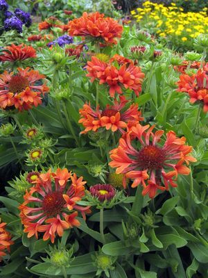 'Commotion Tizzy' Blanket Flower (Gaillardia 'Commotion Tizzy')