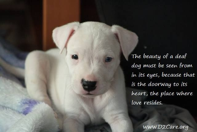 The Beauty Of A Deaf Dog Must Be Seen From In It S Eyes Because That Is The Doorway To It S Heart The Place Where Love Resides Dogs Dog Breeds Deaf Dog