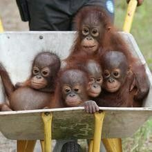 Rescued baby orangutans are wheeled to the forest each day