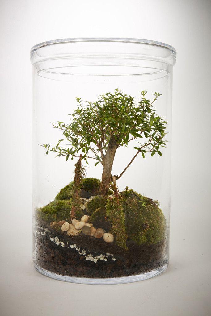 Prairie XXL Bonsaï Serissa Foetida 8 ans - Terrarium humide Green - que faire en cas d humidite dans une maison
